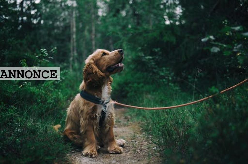 Det skal du vide, før du køber hund
